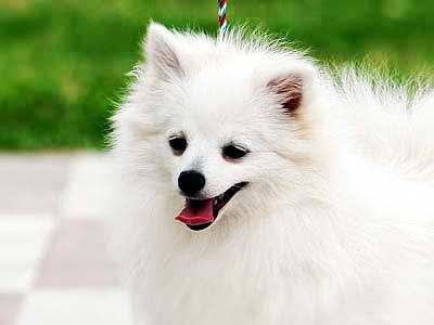 2 Dog Breeds That Start With \u0026#39;V\u0026#39; - With Names and Pictures